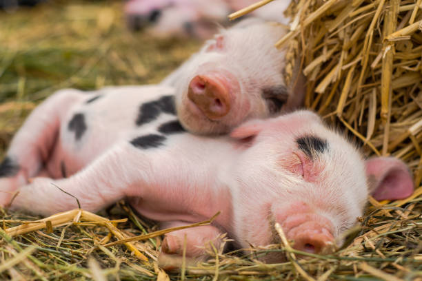 Oxford Sandy and Black piglets sleeping together stock photo