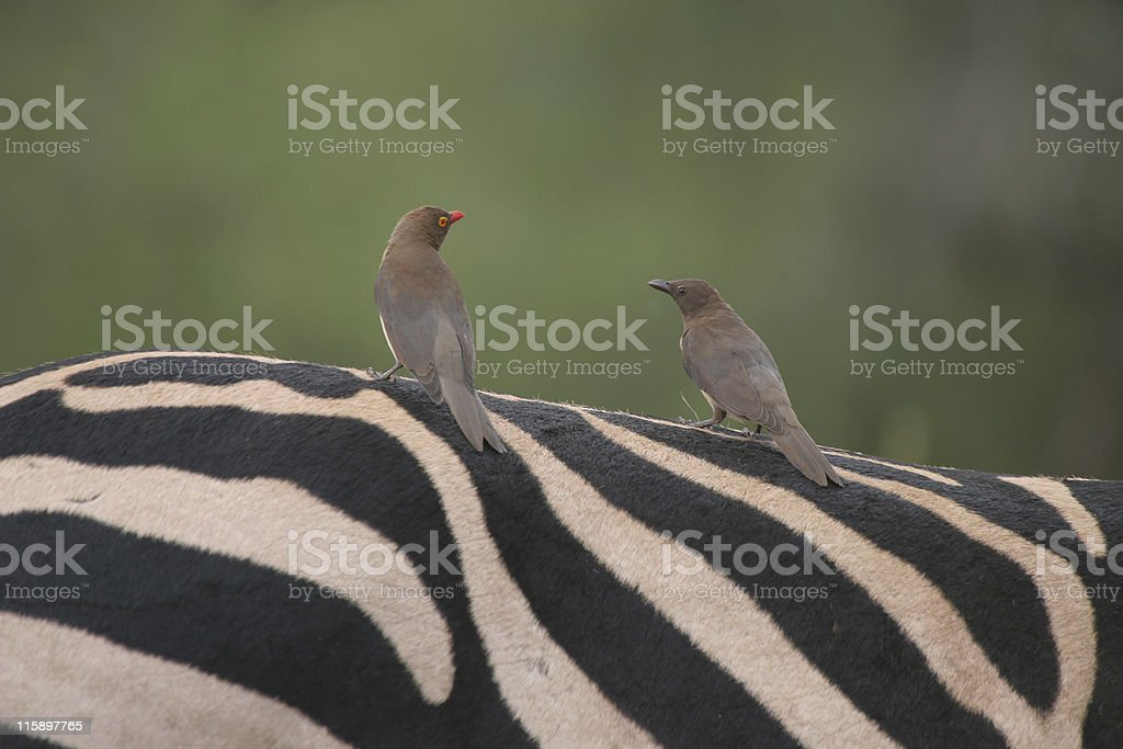 oxpeckers on zebra royalty-free stock photo