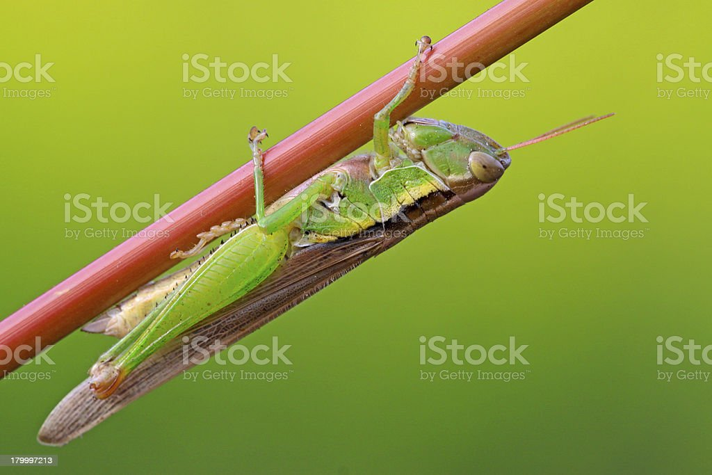 oxya lurking in the plant stem royalty-free stock photo