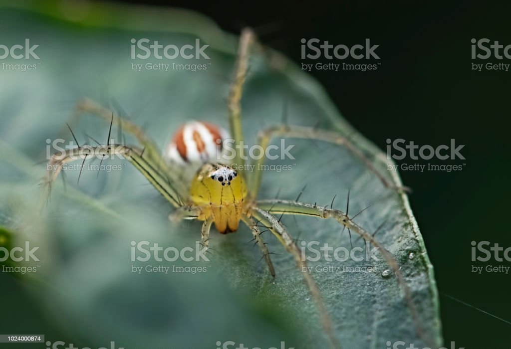 oxyopidae Spider on green leaves. Insect. Animal