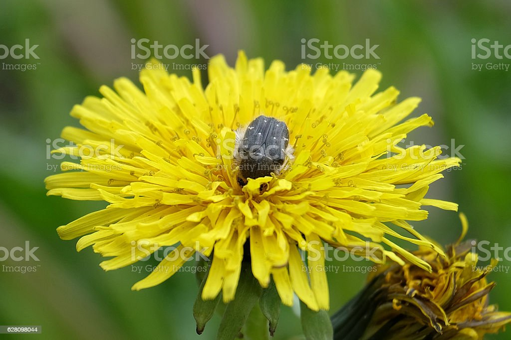 Oxythyrea funesta stock photo