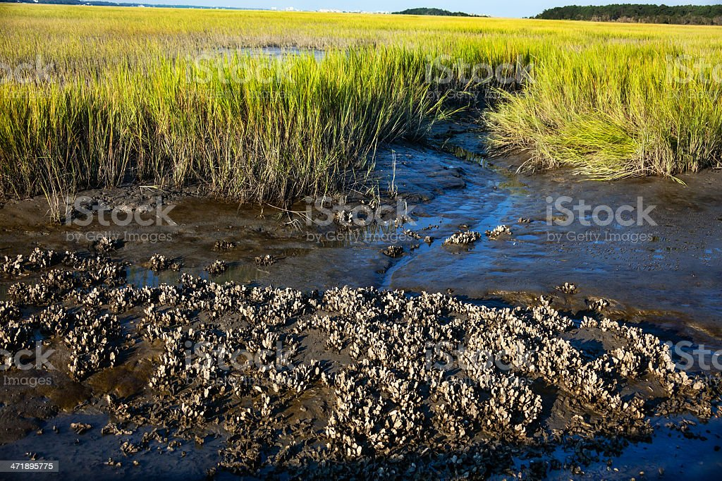 Oyster Bed and Marsh Grass Landscape stock photo