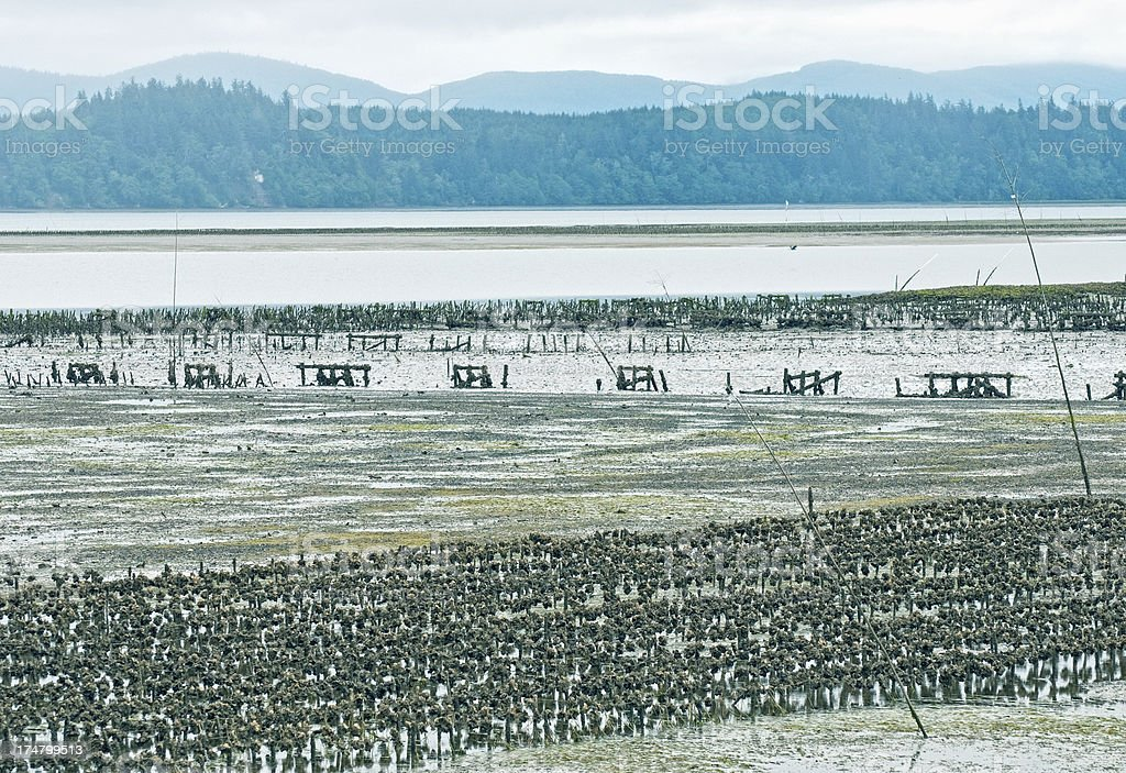 Oyster beds exposed during low tide in Washington state stock photo