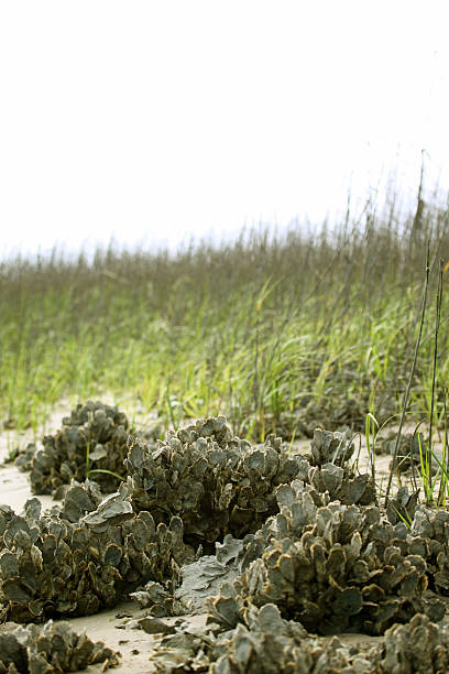 Oyster Beds stock photo