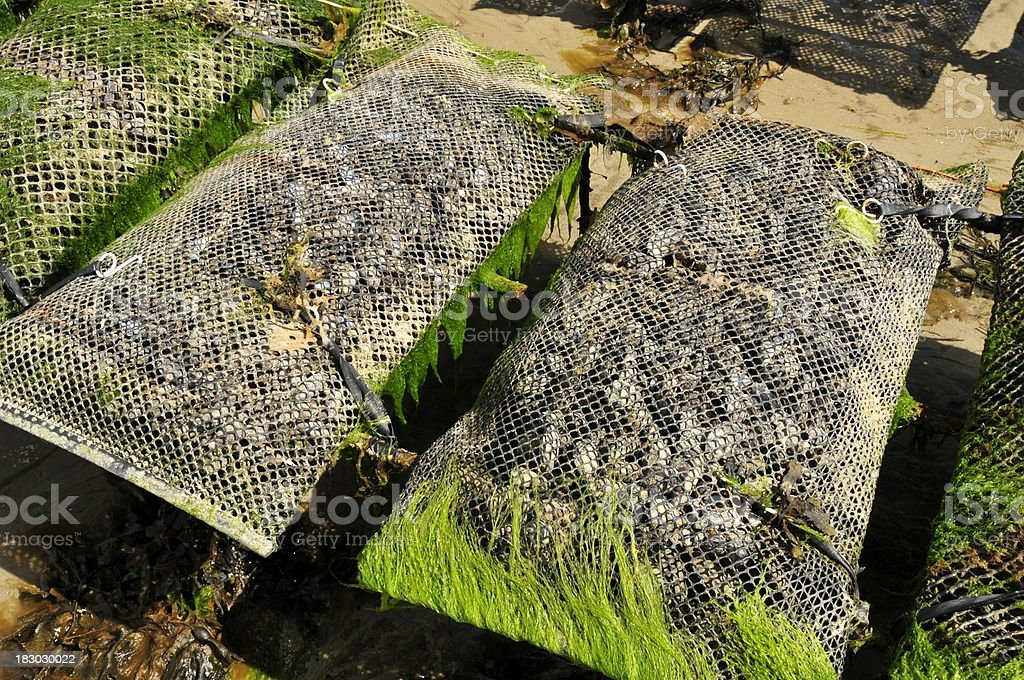 Oyster beds,Jersey. stock photo