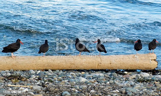 Oyster catcher birds photographed on the banks of the Strait of San Juan de Fuca at Port Townsend, Washington, on October 29, 2005.