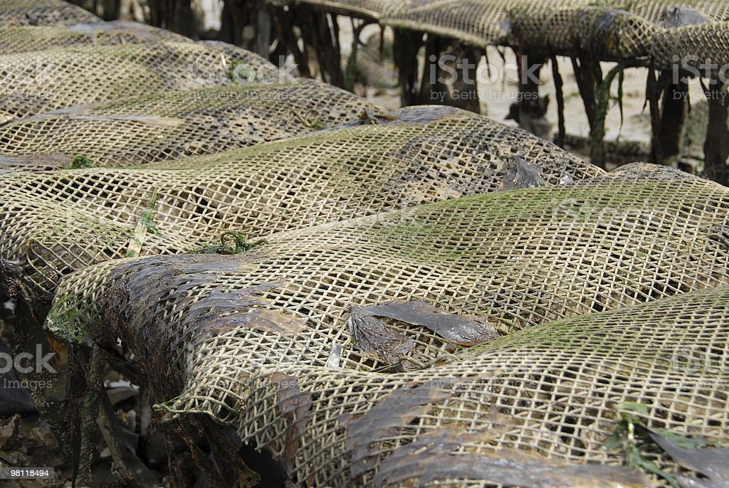 Oyster farm royalty-free stock photo
