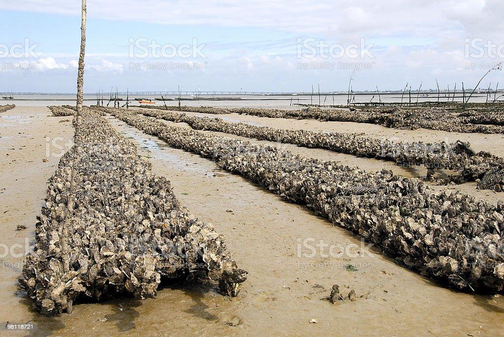 Oyster farm royalty-free stock photo