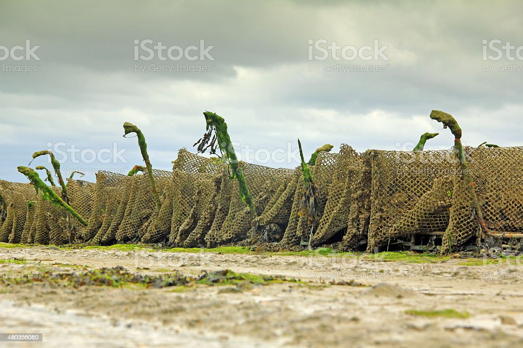 Oyster farming, Cancale, France stock photo