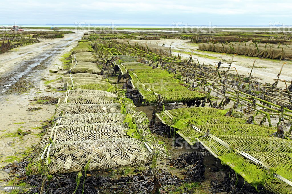 Oyster farming in France stock photo