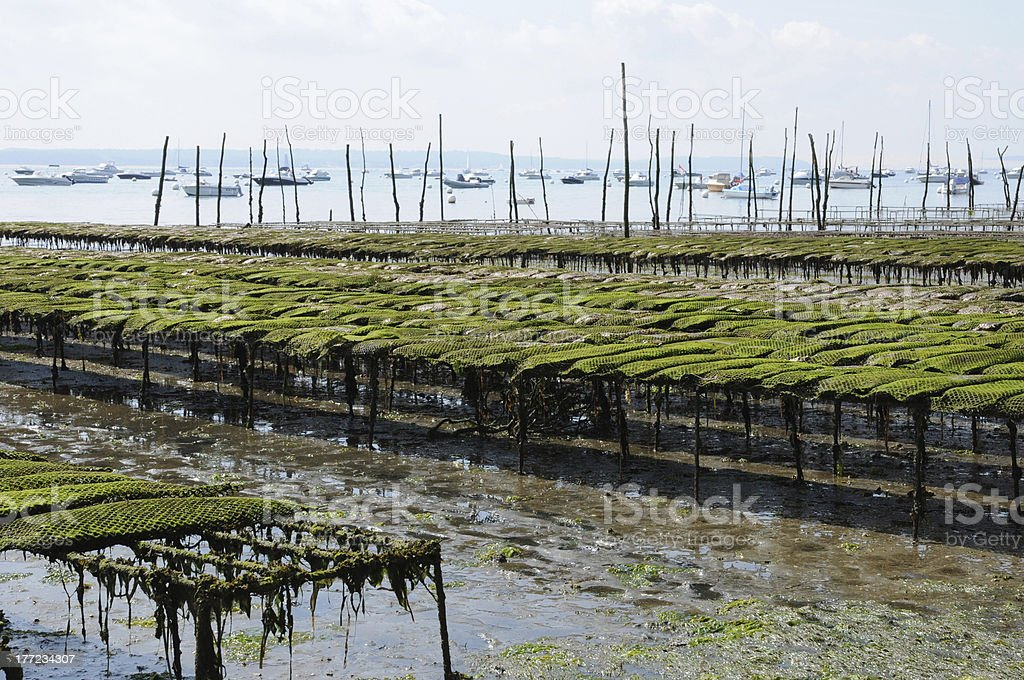 oyster farming on the coast of l Herbe stock photo