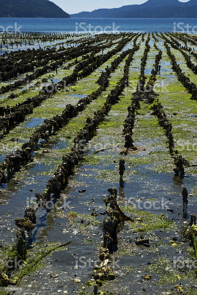 Oyster Farming stock photo