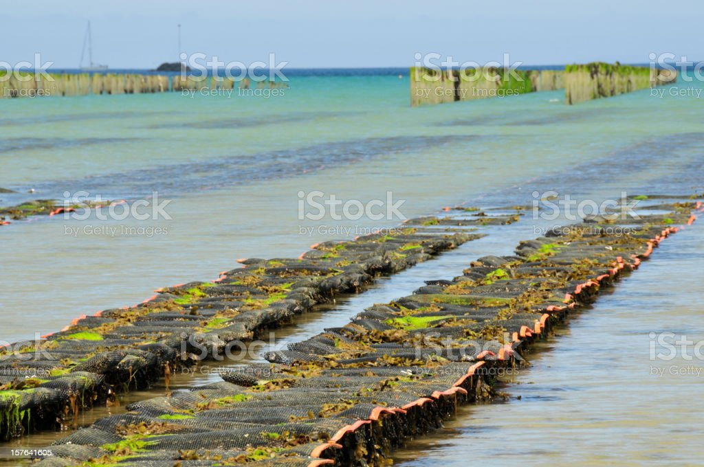Oyster farming,Gorey,Jersey. stock photo