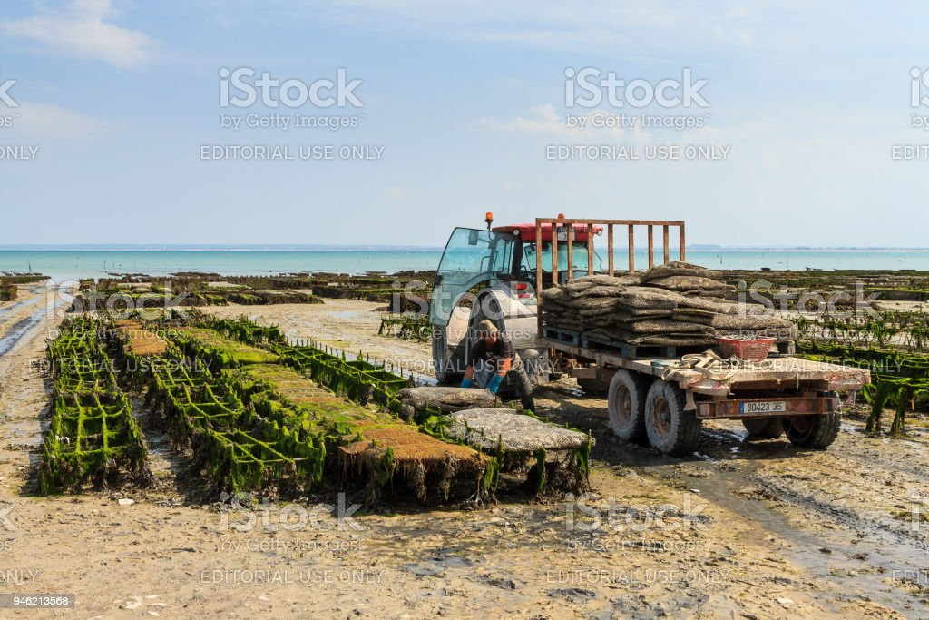 Oyster harvest stock photo