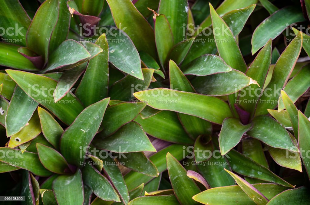 Oyster Lily - Royalty-free Flora Foto de stock
