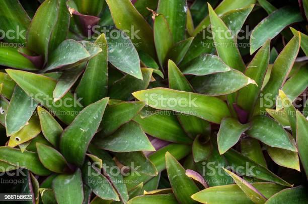 Oester Lily Stockfoto en meer beelden van Blad
