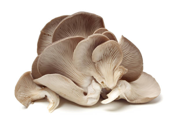 oyster mushroom on white background oyster mushroom on white background mushrooms: oyster mushrooms isolated on white background stock pictures, royalty-free photos & images