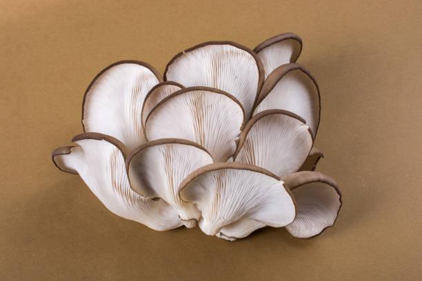 Oyster mushroom or Pleurotus ostreatus mushroom stock photo