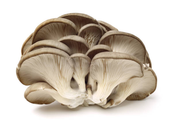 oyster mushroom oyster mushroom on white background mushrooms: oyster mushrooms isolated on white background stock pictures, royalty-free photos & images