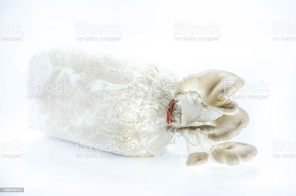 Oyster champignons sur blanc photo libre de droits