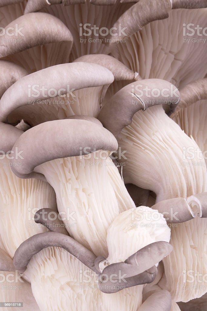 Oyster mushrooms royalty-free stock photo