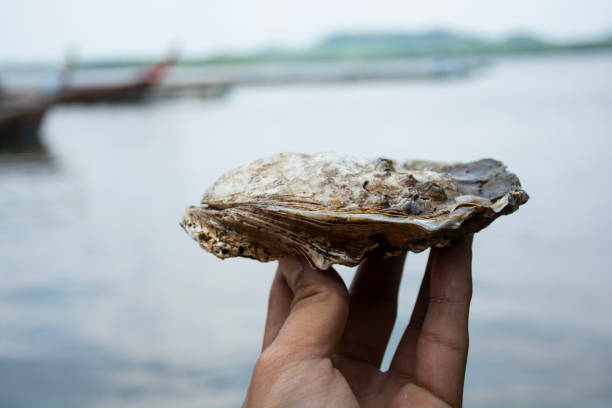 Oyster Oyster on hand dirty sea one body mollusk stock pictures, royalty-free photos & images