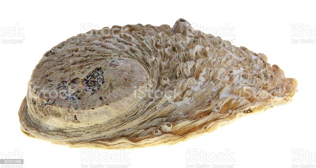 Huître shell photo libre de droits