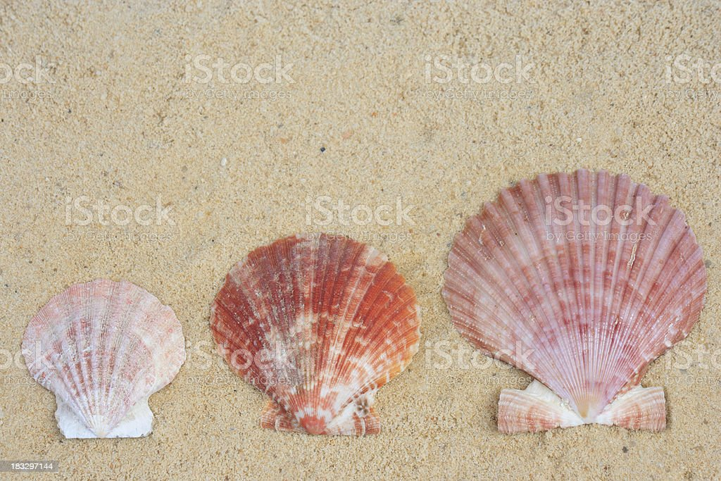 oyster shells royalty-free stock photo