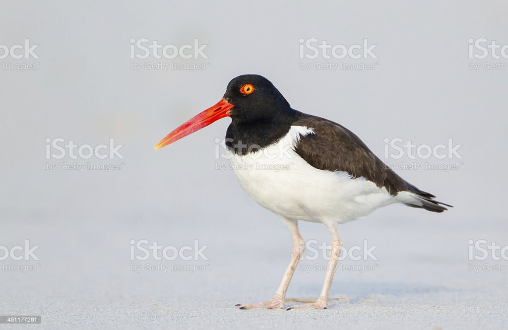 Oystercatcher royalty-free stock photo
