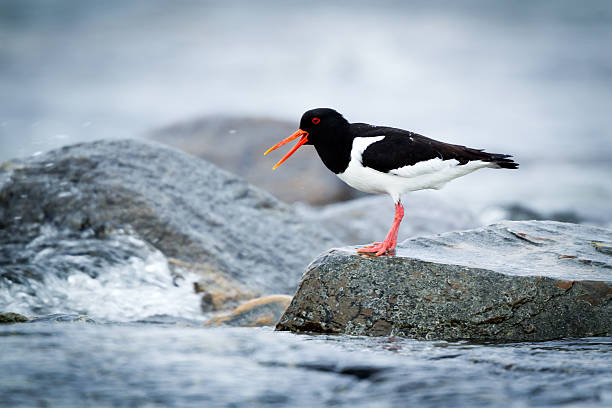Oystercatcher sitting on a rock by the sea stock photo
