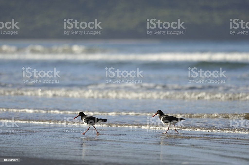 Oystercatchers and Seagull in Bruny Island stock photo