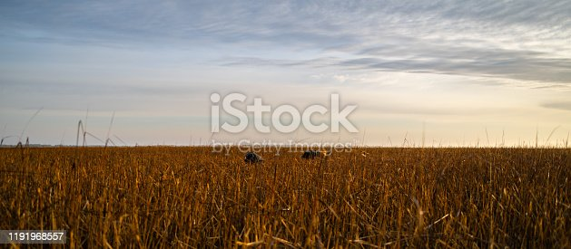 Two men are bent over and nearly covered by the tall grass.