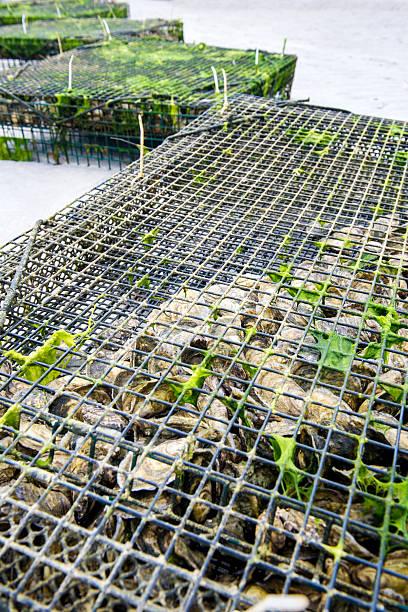 oysters farm stock photo