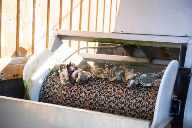 oysters machine to sort in oyster farmer - fishman imagens e fotografias de stock