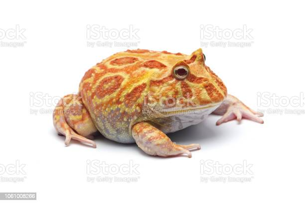 Pac man frog albino isolated on white background picture id1061008266?b=1&k=6&m=1061008266&s=612x612&h=f6xjy8asd urhd5o3tvwdqyunl5qjlecadte x8ofes=