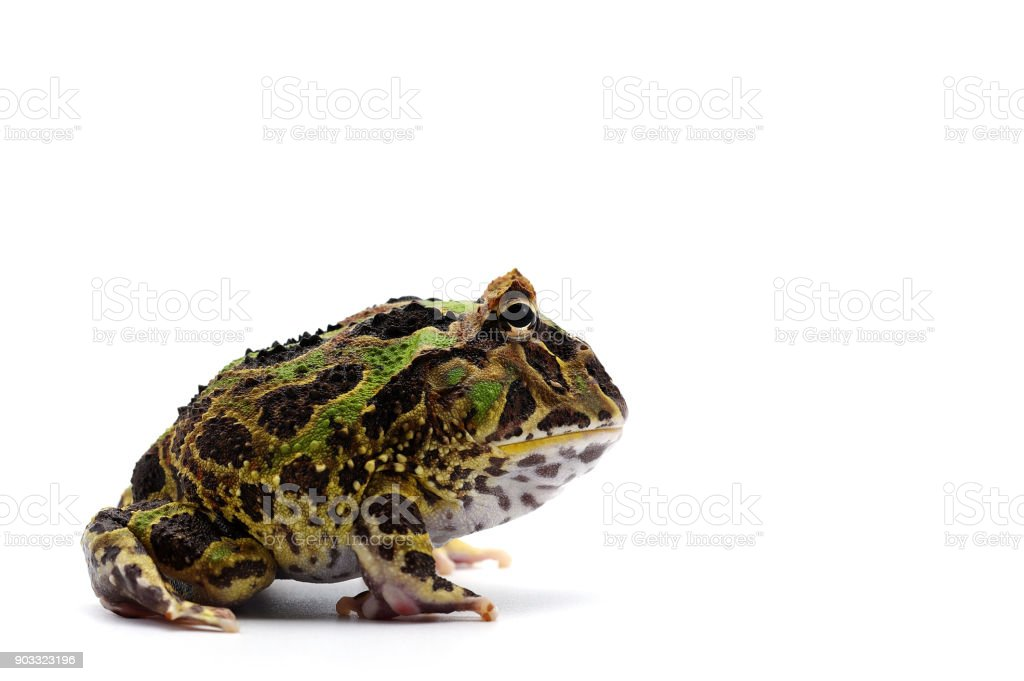 Pac man frog isolated on white background stock photo