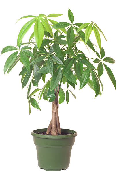 Pachira aquatica 'Money Tree' stock photo