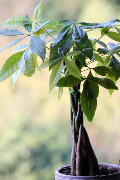 Pachira aquatica or Money Tree Bonsai Tree, Dragon, Plant, Tree, Slovenia money tree stock pictures, royalty-free photos & images