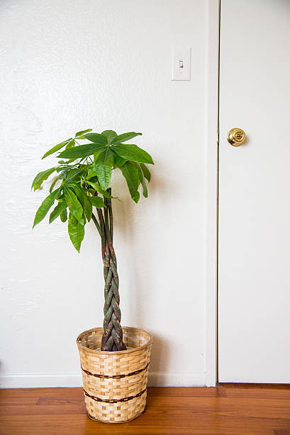 pachira in the room pachira in the room money tree stock pictures, royalty-free photos & images