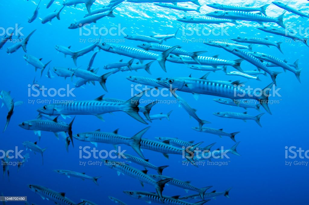 Barracudas Pacífico - foto de stock