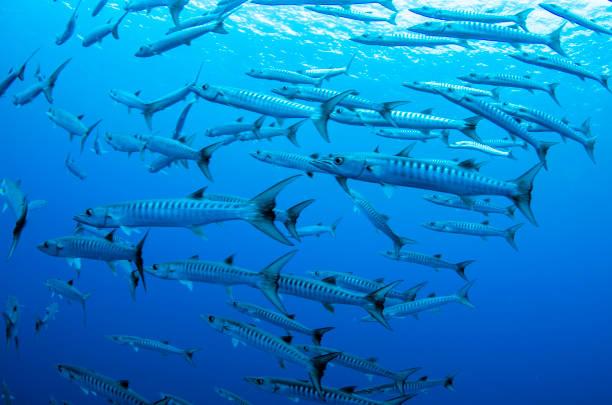 Barracudas Pacífico - foto de acervo