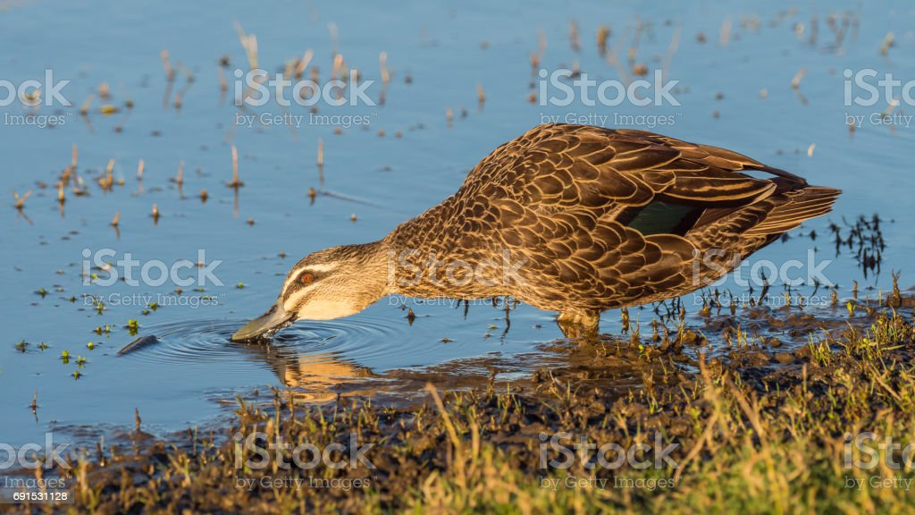 A Pacific Black Duck (Anas superciliosa) drinking at at Herdsman Lake in Perth, Western Australia. stock photo