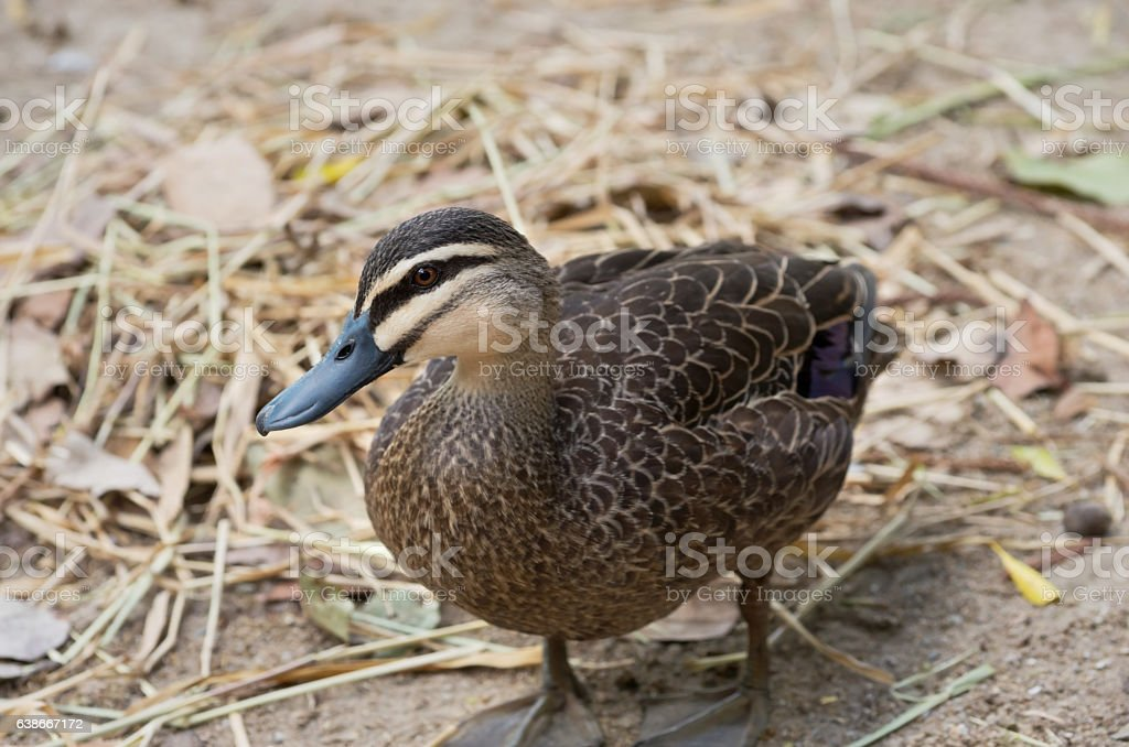 Pacific Black Duck Profile stock photo