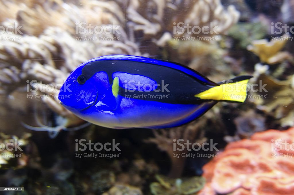 Pacific Blue Tang (Paracanthurus hepatus) - Fish stock photo
