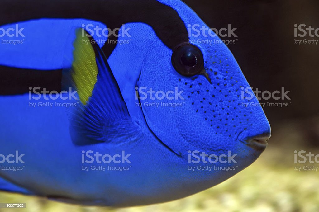 Pacific Blue Tang - Palette surgeonfish stock photo