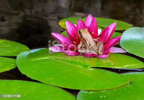 Pacific Chorus Tree Frog sitting on pink Water Lily Flower garden backyard pond