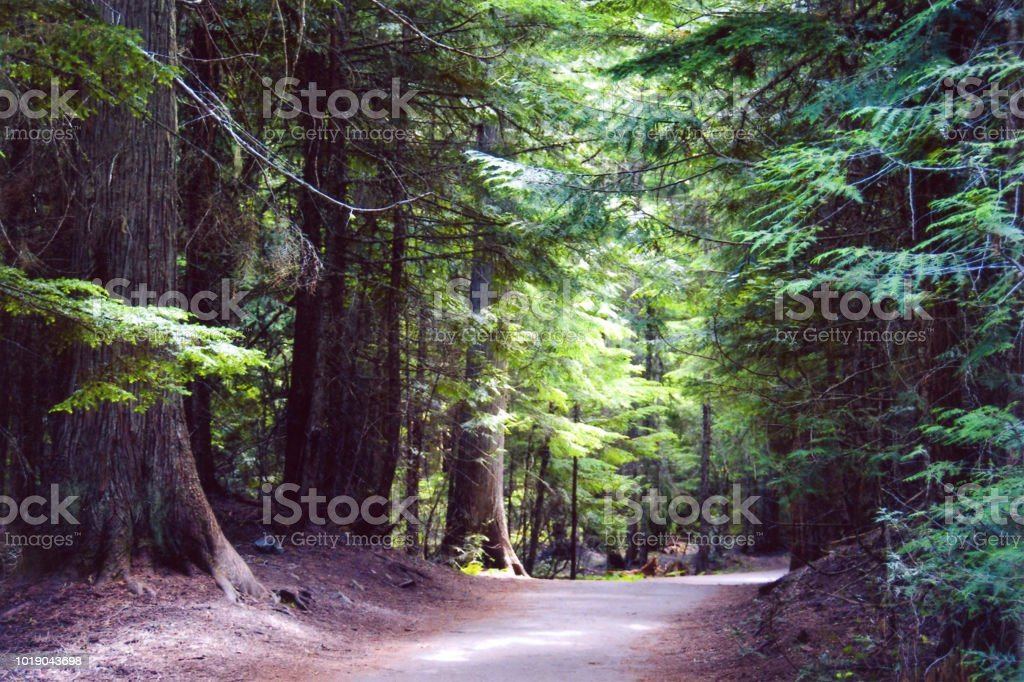 Pacific Coast old growth trees forest trail stock photo