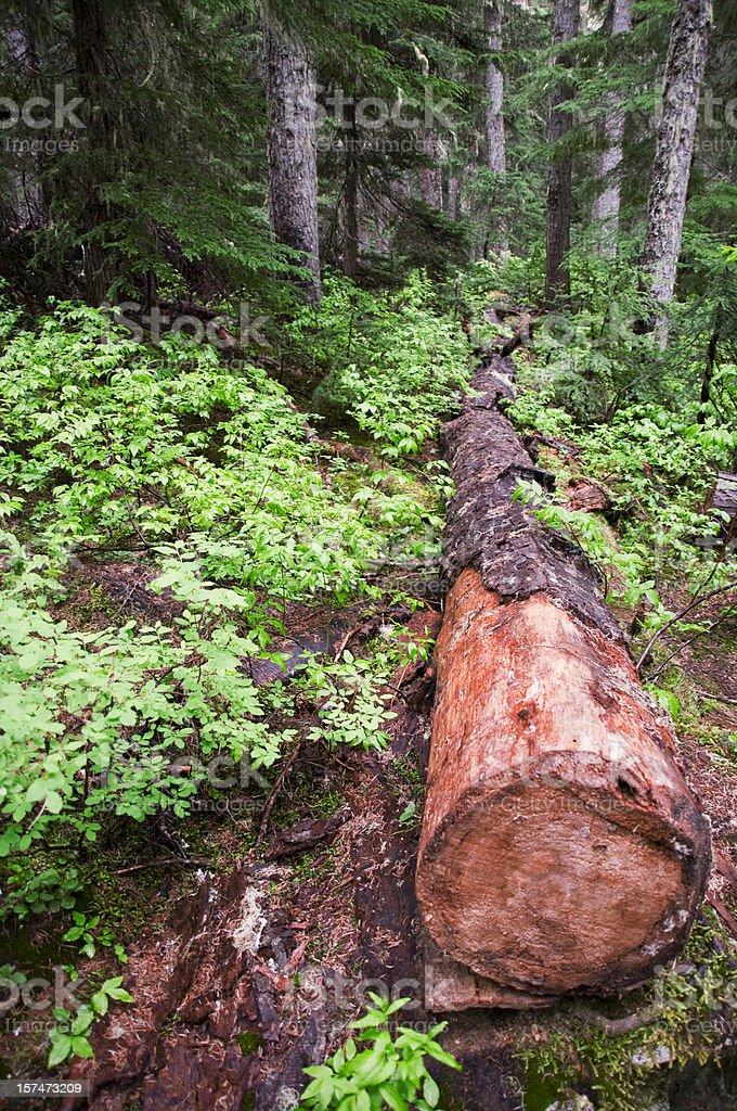 Pacific Coast Rainforest, Logging royalty-free stock photo