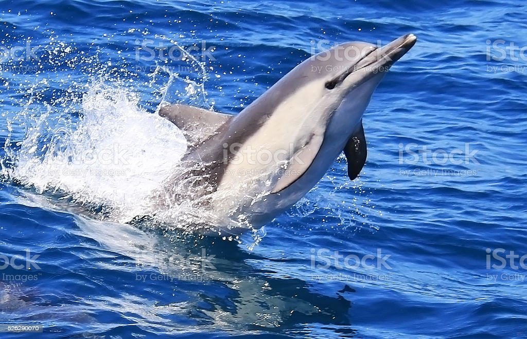 Pacific Common Dolphin Jumping stock photo