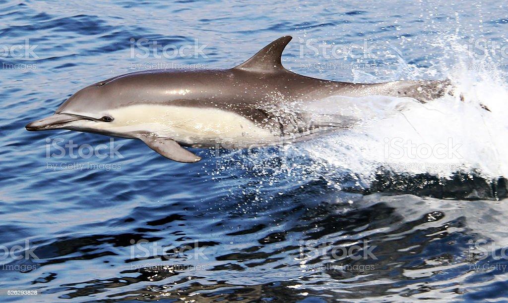 Pacific Common Dolphin stock photo